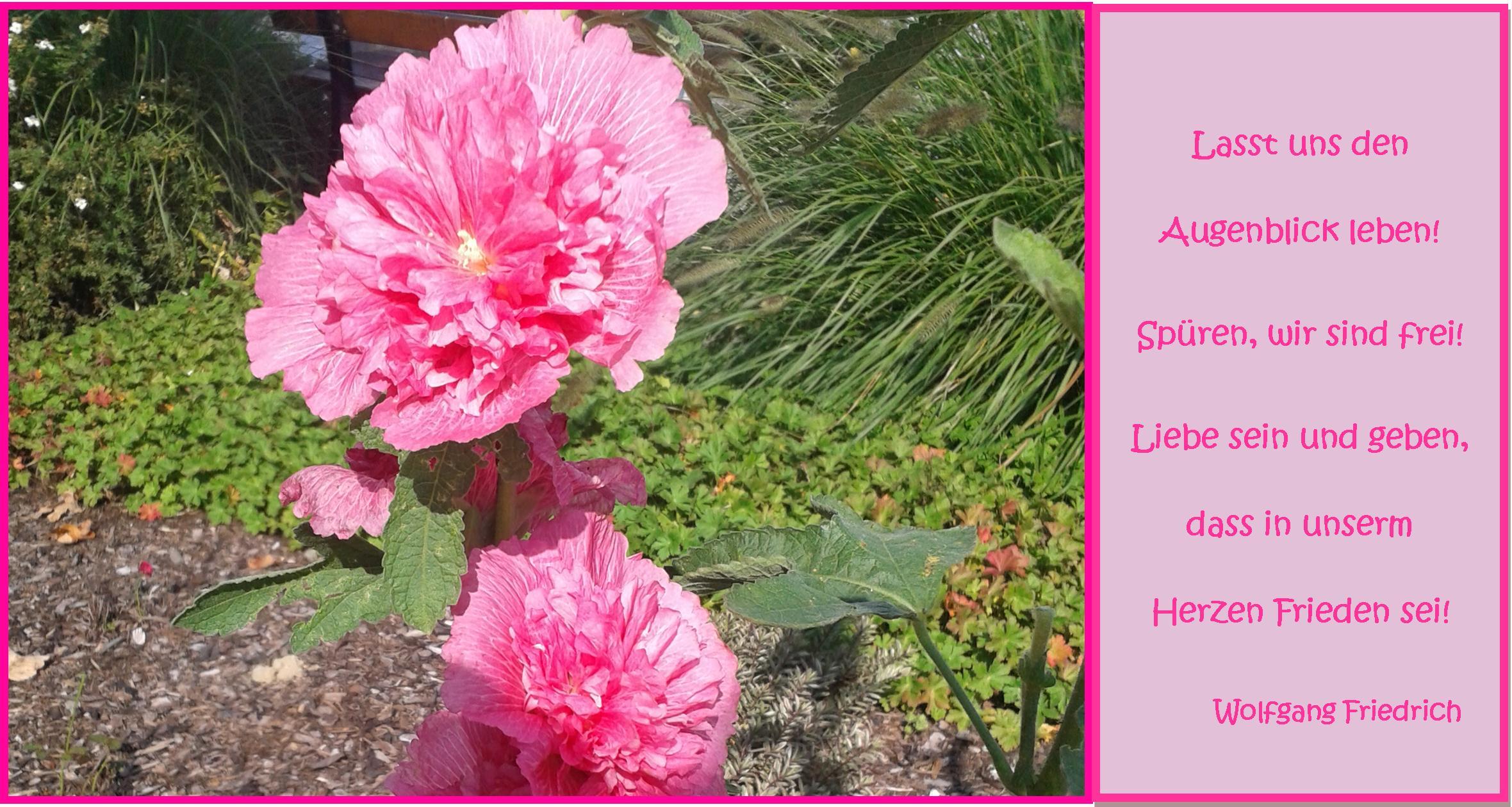 Schönes Bild mit rosa Stockrose